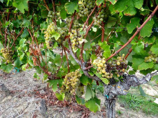 08-le-raisins-pres-a-etre-recolte